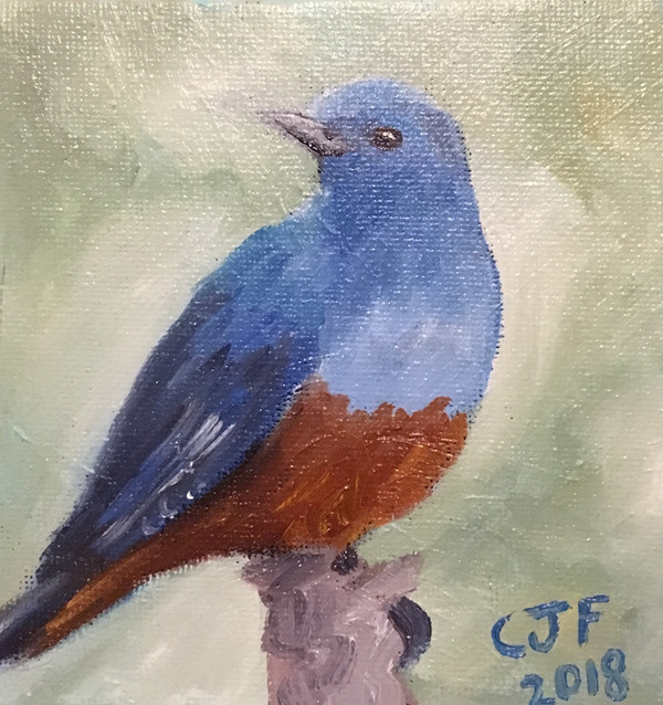 Merill (Blue Rock Thrush)