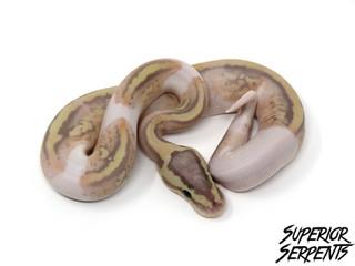 Pastel Banana Pied