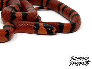 Tangerine Honduran Milk Snake