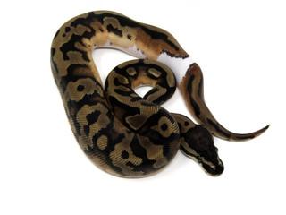 Leopard Pied