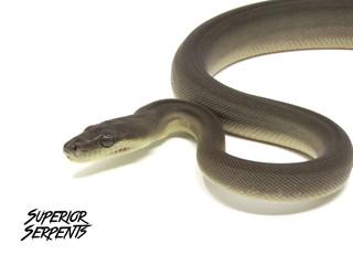 Olive Python