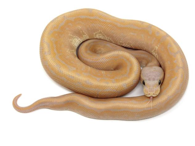 Banana Cinnamon Pinstripe Pos. Yellowbelly