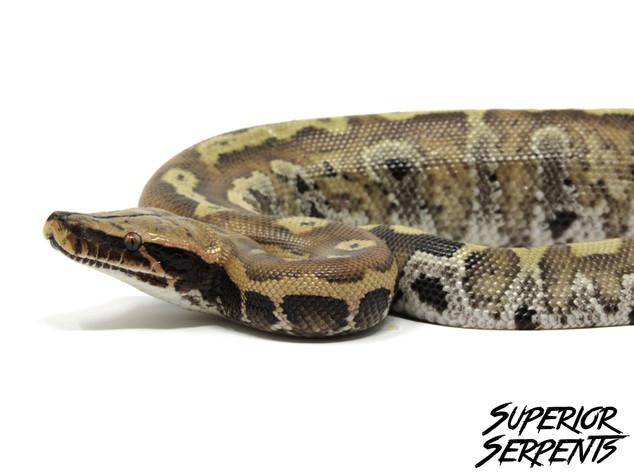 Blonde Blood Python