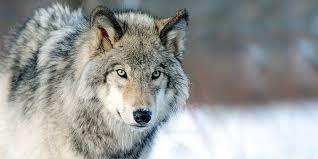 Il lupo cattivo e i cattivi pensieri