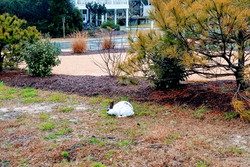 """Hurricane Florence """"wild"""" bunny, a frequent visitor"""