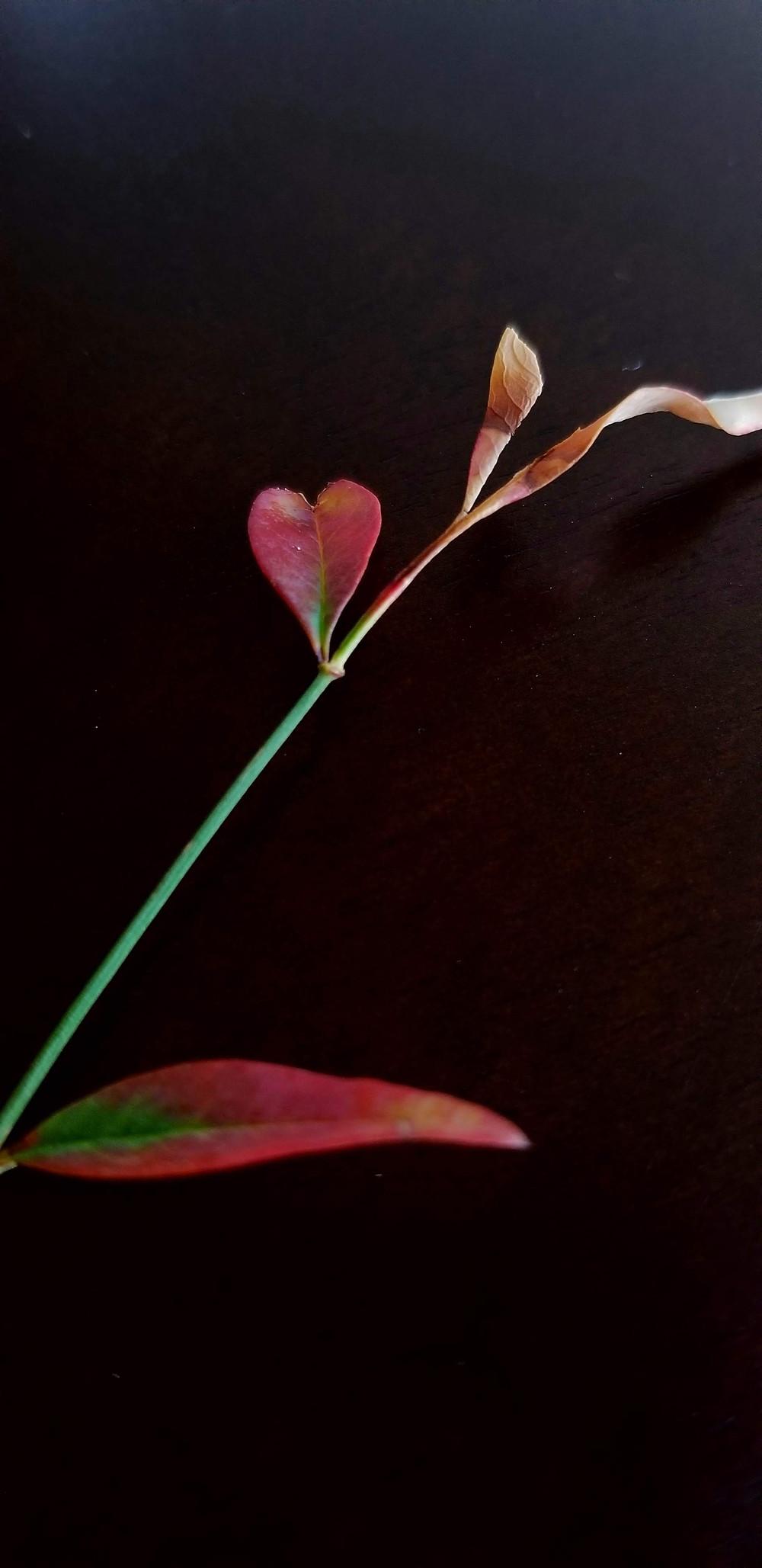 heart-shaped leaf plant stem