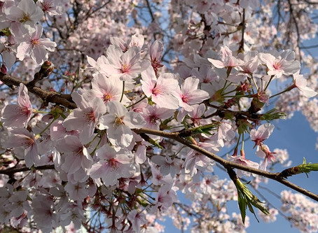 """Beautiful Japanese culture """"ohanami"""" (cherry blossom viewing)"""