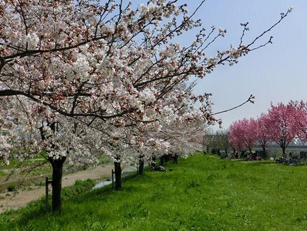 cherry blossoms along katsura river near