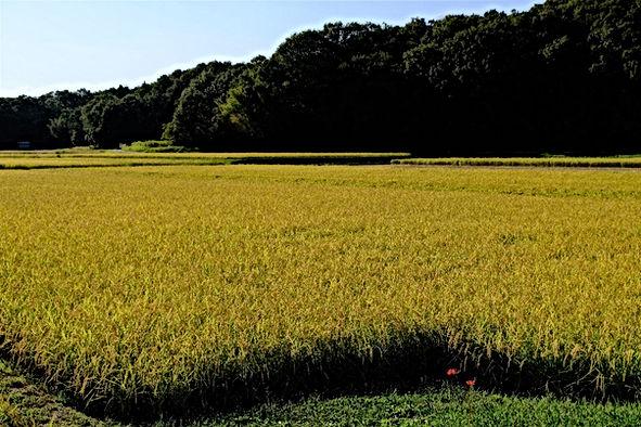 The Yamada-Nishiki exhibition rice field
