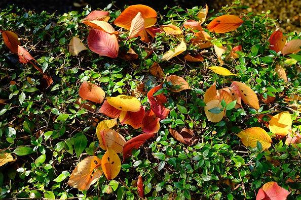 The fallen leaves of cherry-blossom.jpg