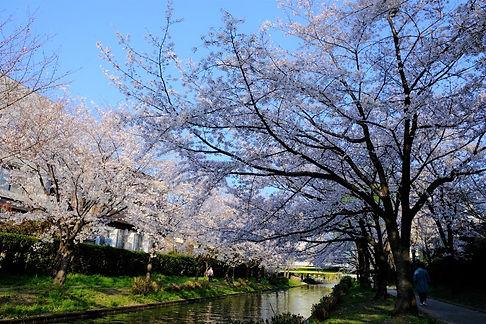 Cherry blossom trees.jpg
