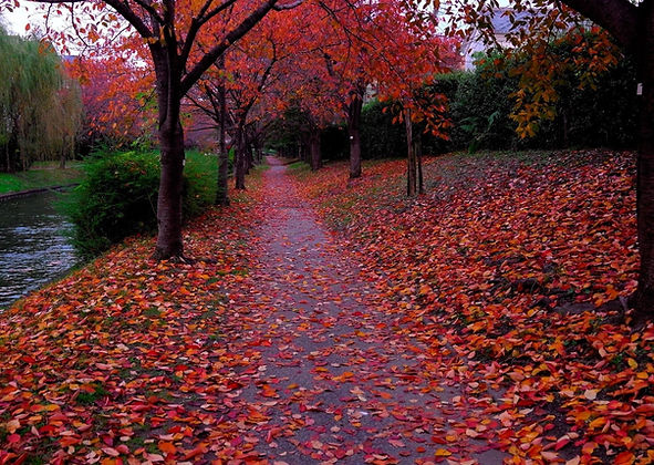 The turning red leaves of cherry trees.j