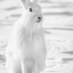 Le lièvre arctique
