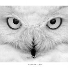 Les yeux du Harfang