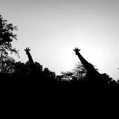 L'apparition des girafes