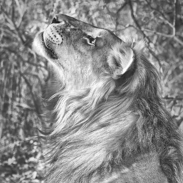 Le jeune lion