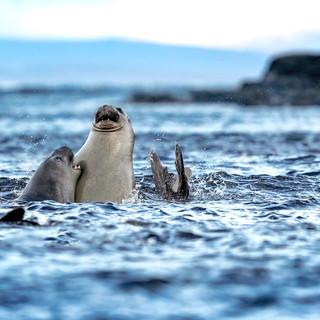 Jeunes éléphants de mer