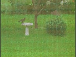 Clever Crow Plays In The Rain