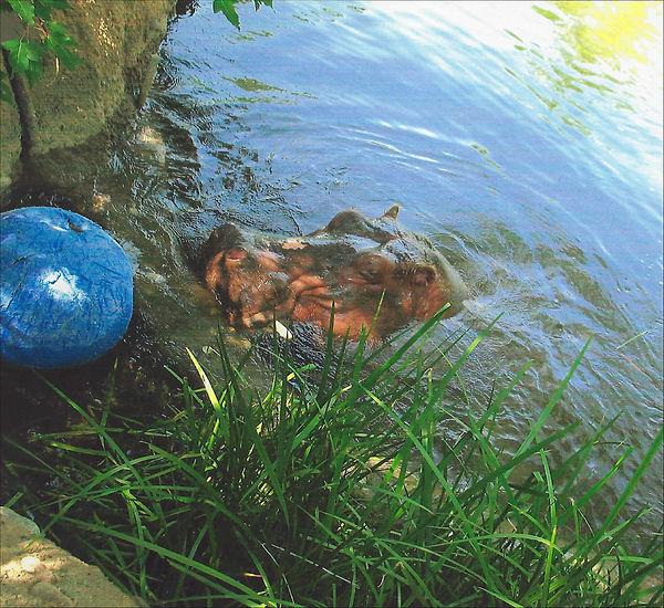 Hippopotamus Wants Its Blue Ball by Annm