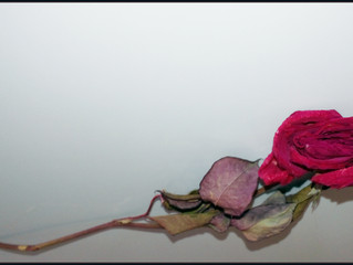 A Winter Rose From My Garden