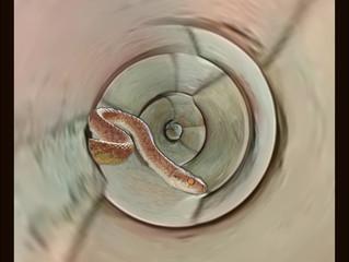 Sir Big Snake