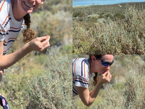 Healthy Herb Focus:  Mugwort (Artemisia Vulgaris) and Wormwood (Artemisia Absinthium)