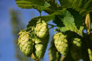 hops-1678583_1920.jpg
