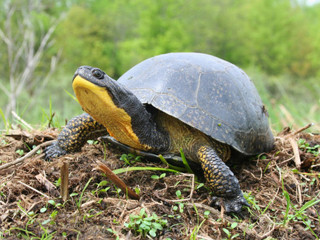 Deer Lake, Perfect Habitat for the Endangered Blanding's Turtle