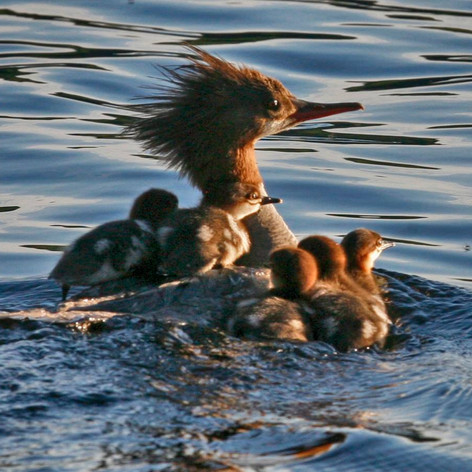 Common Merganser and her babies