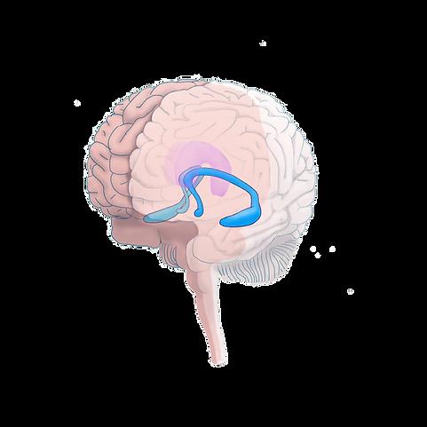 hipocampo-transparência.png