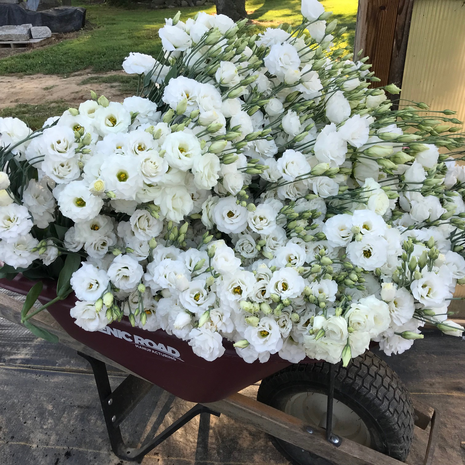 Wheelbarrow of lisianthus