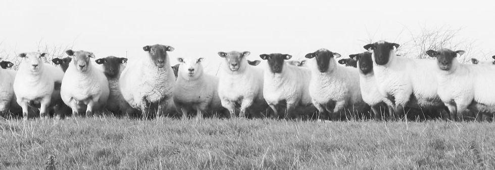 Sheep2_edited.jpg