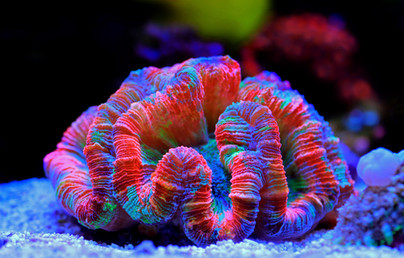 Rainbow coloration open brain LPS coral