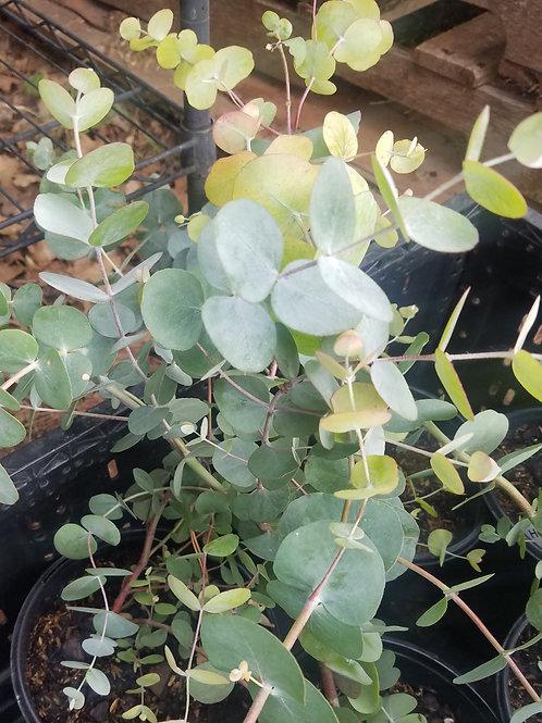 """Eucalyptus, Silver Dollar 6"""" pot"""