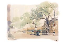 Stone Wall Trees in Sai Wan 西環石牆樹
