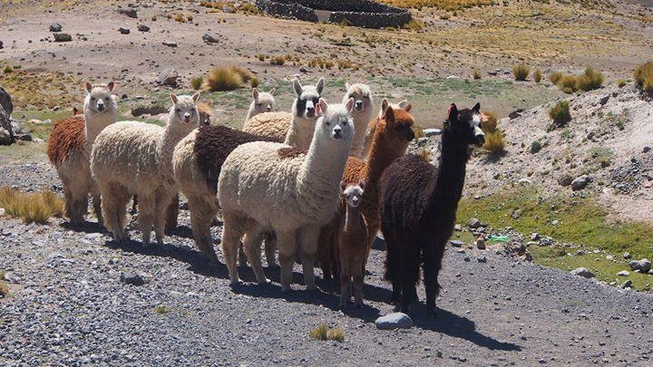 Alpacca - und aus denen sind die Socken - oder aber auch Alpacca Synthetico!
