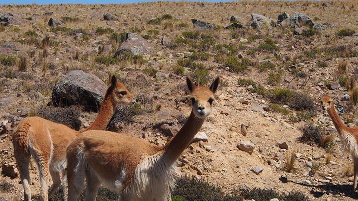 Vircunja - das wahrscheinlich liebste Tier der Welt - und die teuerste Wolle!