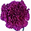Thumbnail: Диантус фиолетовый