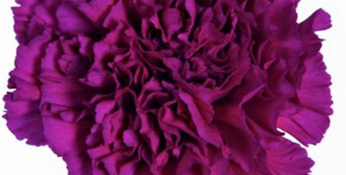 Диантус фиолетовый