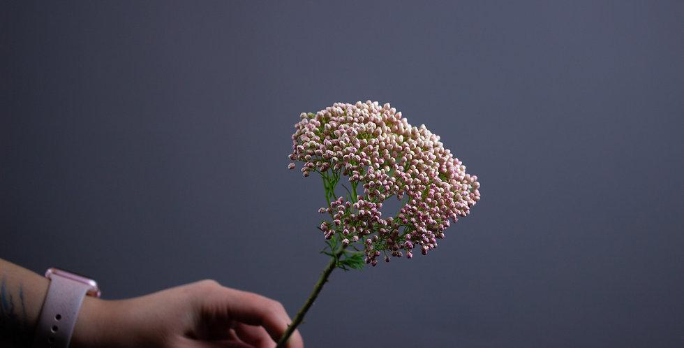Озотамнус розовый