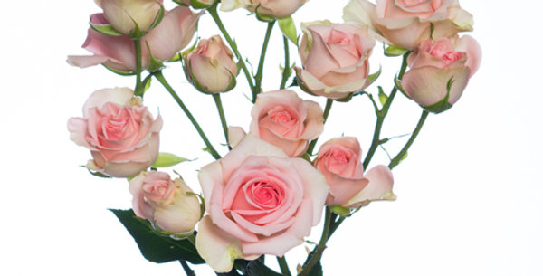 Кустовая Кенийская Роза Персик 40см