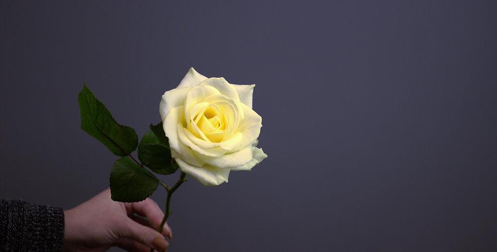 Роза Россия белая
