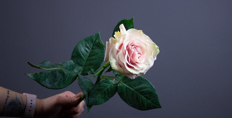 Роза Пинк Мондиаль 50см