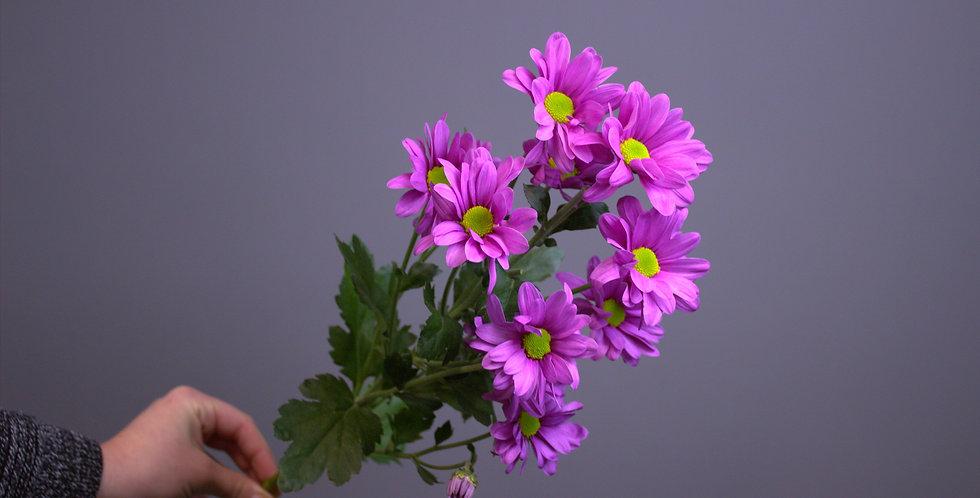 Хризантема кустовая фиолетовые ромашки