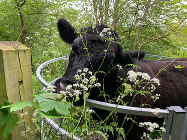 Shalford Cow.jpeg