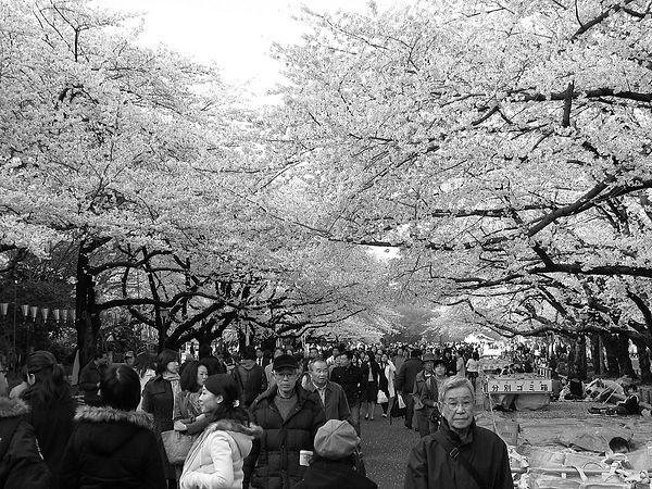 Tokyo in sakura season; continued imperative connection to natur