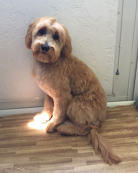 cosmo not so shaggy after.JPG