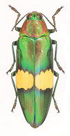 BUPRESTIDAEChrysochroa saundersii.jpg