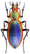 CARABIDAE Ceroglossus chilensisages.jpg