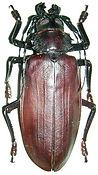CERAMBYCIDAETitanus_giganteus.jpg